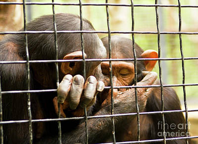 Photograph - Two Chimpanzee In Cave by Irina Afonskaya