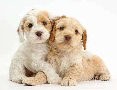 House Pet Photograph - Two Cockapoo Puppies by Mark Taylor