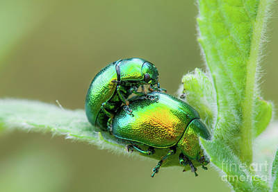 Photograph - Two Colorful Mating Bugs by Gurgen Bakhshetsyan