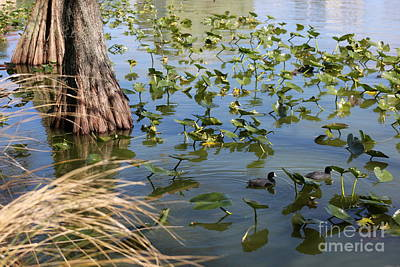 Photograph - Two Coots In Lake Morton by Carol Groenen