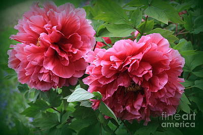 Photograph - Two Coral Peonies - Dora Sofia Caputo by Dora Sofia Caputo Photographic Art and Design