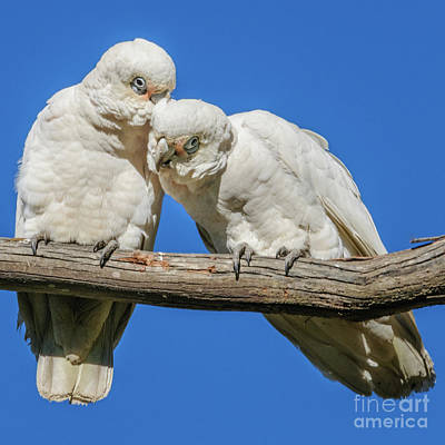 Photograph -  Two Corellas by Werner Padarin