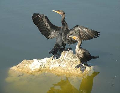 Two Cormorants Art Print by Rosalie Scanlon