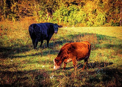 Photograph - Two Cows by Lilia D