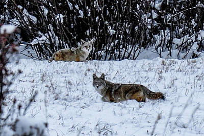 Photograph - Two Coyotes In The Snow by Marilyn Burton