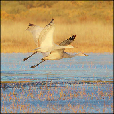 Photograph - Two Cranes Cruising by Marla Craven