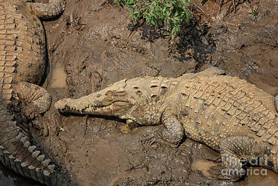Photograph - Two Crocodiles by Patricia Hofmeester