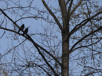 Photograph - Two Crows by AJ Brown