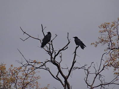 Photograph - Two Crows by Jim Taylor