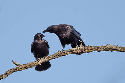 Two Crows On A Branch Print by Terry DeLuco
