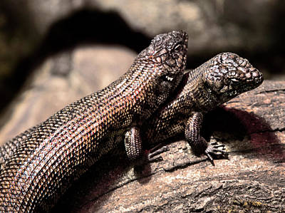 Photograph - Two Cunningham Skinks by Miroslava Jurcik