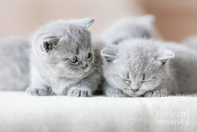 Photograph - Two Cute British Shorthair Cats. by Michal Bednarek