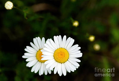 Photograph - Two Daisies by Les Palenik