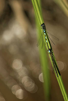 Photograph - Two Damselflies by Belinda Greb