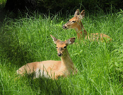 Two Deer In Tall Grass Art Print by Rosalie Scanlon