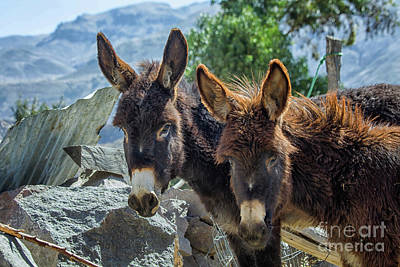 Photograph - Two Donkeys by Patricia Hofmeester