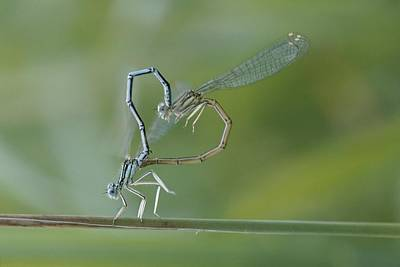 Dragonflies Mating Photograph - Two Dragonflies Create A Heart-like by Carsten Peter