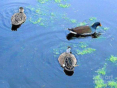 Photograph - Two Ducks And A Moorhen by Merton Allen