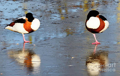 Photograph - Two Ducks On Ice by Colin Rayner