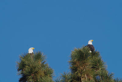 Two Eagles In Two Tree Tops Art Print by Jeff Swan