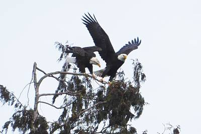Photograph - Two Eagles Landing In A Tree by Karen Molenaar Terrell