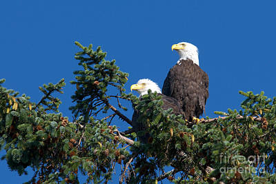 Photograph - Two Eagles by Sharon Talson