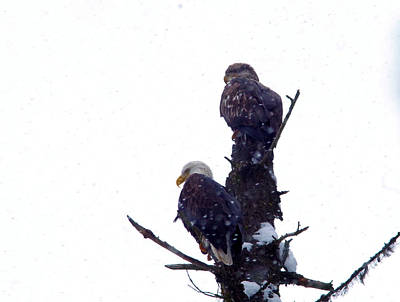 Two Eagles Tree Top  Art Print