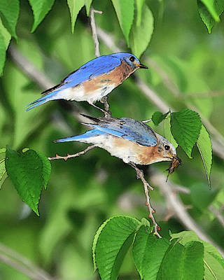 Raising Photograph - Two Eastern Bluebirds by Betty LaRue