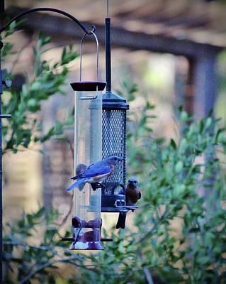 Photograph - Two Eastern Bluebirds by Cynthia Guinn