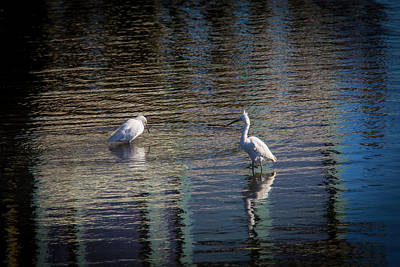 Heron Photograph - Two Egret's Fishing by Garry Gay