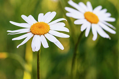 Photograph - Two Elegant White Daisies by Vishwanath Bhat