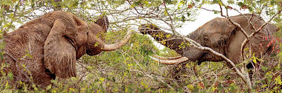 Photograph - Two Elephants Eating From Trees by Susan Schmitz