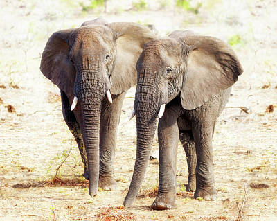 Photograph - Two Elephants Together In Kruger National Park by Susan Schmitz