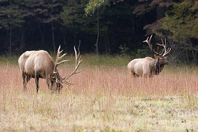Photograph - Two Elk In A Grassy Field by Jill Lang