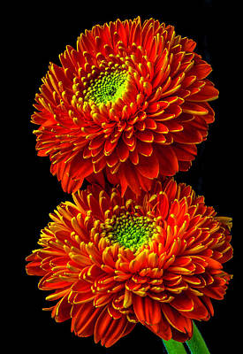 Photograph - Two Fancy Orange Green Gerbera Daisies by Garry Gay