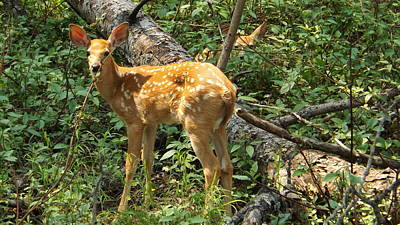 Photograph - Two Fawn by Dennis Pintoski