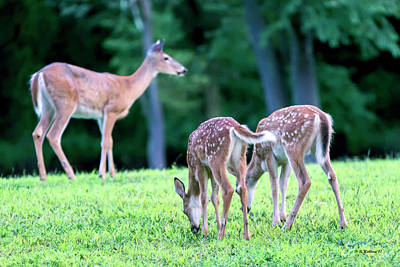 Photograph - Two Fawns With Doe by Brian Wallace