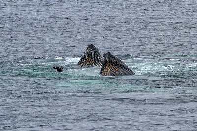 Photograph - Two Feeding Humpback Whales by John Haldane