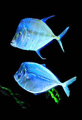 Photograph - Two Fish Blue Fish by Diana Angstadt