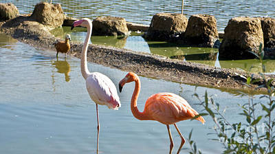 Photograph - Two Flamingo White And Pink by Irina Afonskaya
