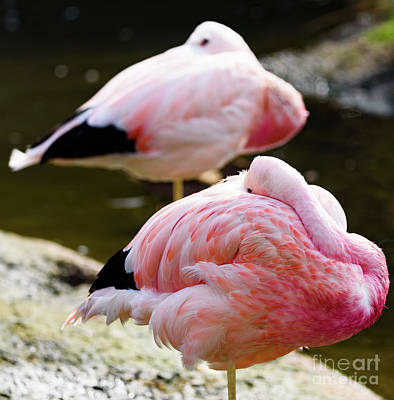 Photograph - Two Flamingos Asleep by Colin Rayner