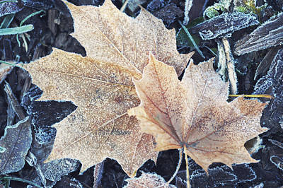 Photograph - Two Frosted Acer Leaves by Jenny Rainbow