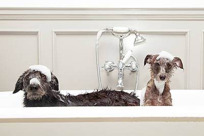 Animals Royalty-Free and Rights-Managed Images - Two funny wet dogs in bathtub by Susan Schmitz