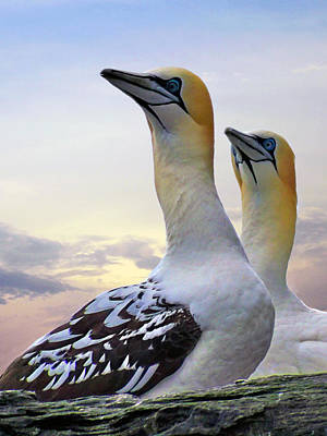 Two Gannets Art Print by Lynn Bolt