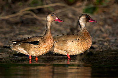 Wetlands Photograph - Two Geese Birds, Pantanal Wetlands by Panoramic Images