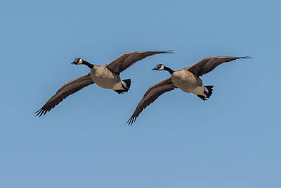 Ganders Photograph - Two Geese by Paul Freidlund