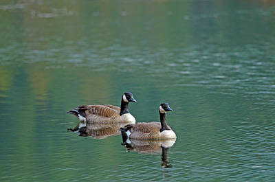 Photograph - Two Geese by Sharon Talson