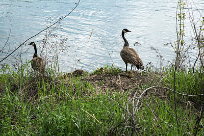 Photograph - Two Geese Three Goslings by Tom Cochran