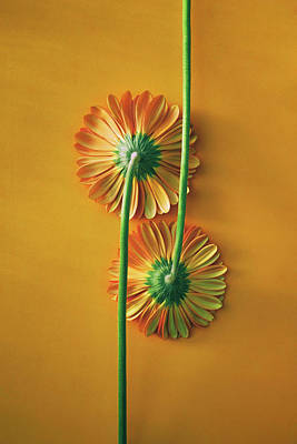 Photograph - Two Gerbera Back by Carlos Caetano