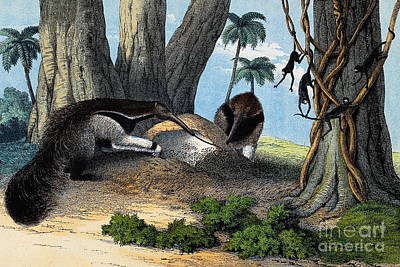 Two Giant Anteaters Feeding On Termites Art Print